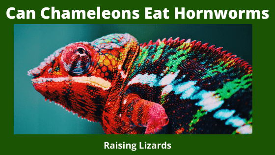 Can Chameleons Eat Hornworms _ How Many