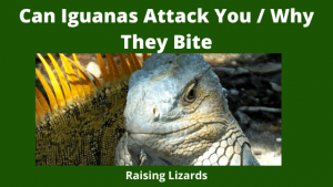 Can Iguanas Attack You _ Why They Bite