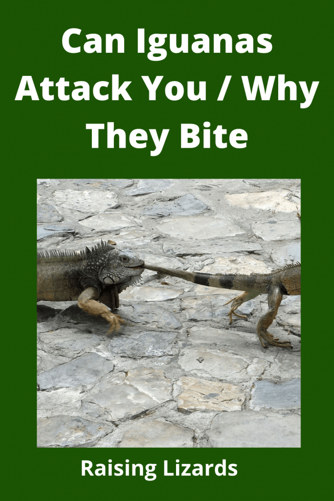 Can Iguanas Attack You