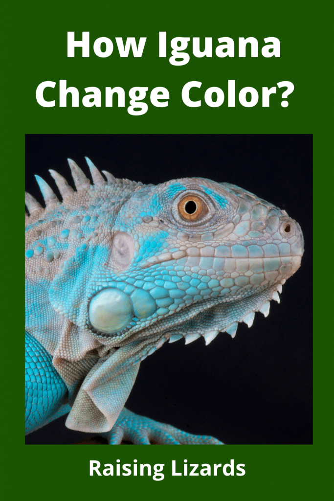 How Iguana Change Color