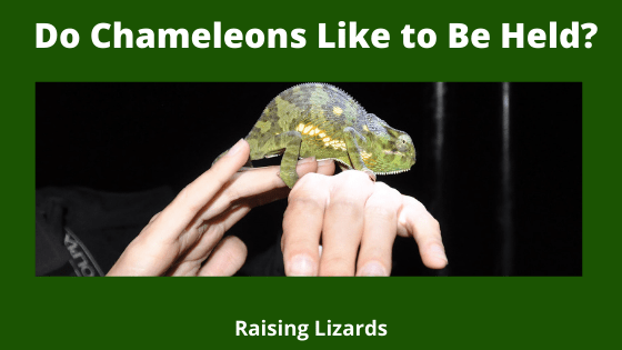 Do Chameleons Like to Be Held