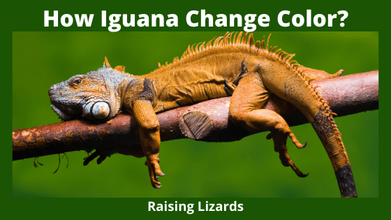 How Iguana Change Color_