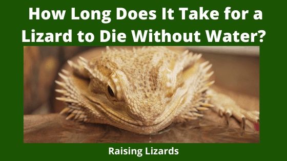 How Long Does It Take for a Lizard to Die Without Water_