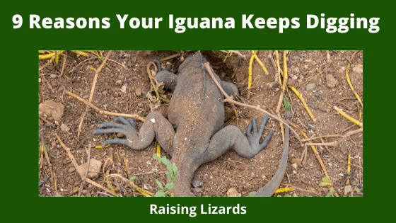 9 Reasons Your Iguana Keeps Digging