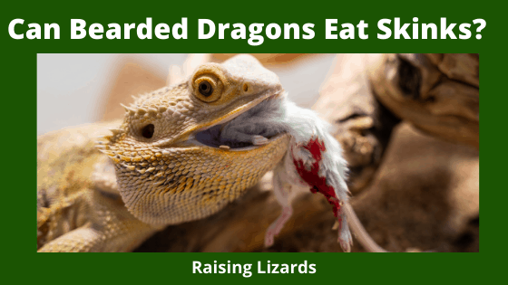 Can Bearded Dragons Eat Skinks_
