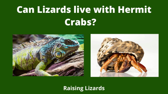Can Lizards live with Hermit Crabs_