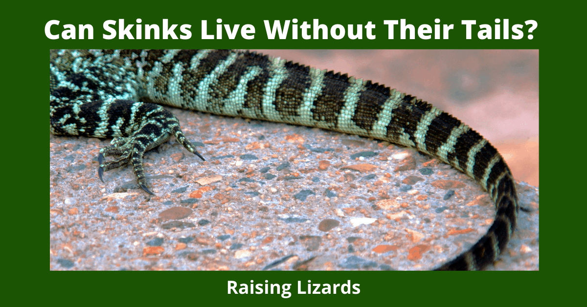 Can Skinks Live Without Their Tails_
