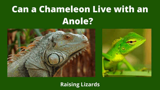 Can a Chameleon Live with an Anole
