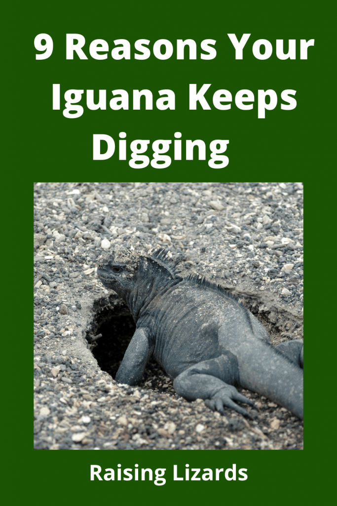 Iguana Keeps Digging