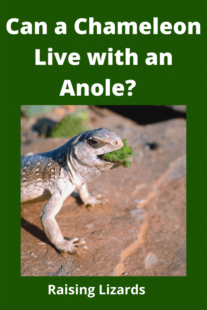 Chameleon Live with an Anole