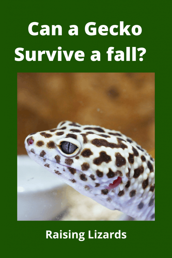 Can a Gecko Survive a fall