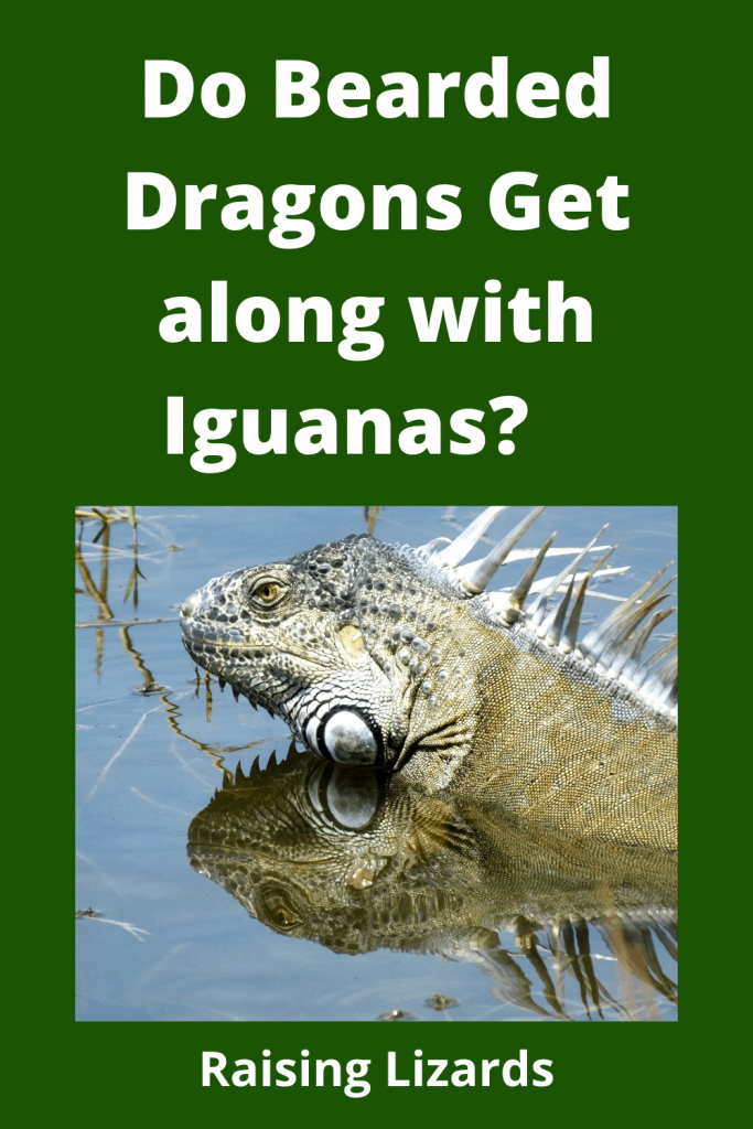 Bearded Dragons Get along with Iguana's