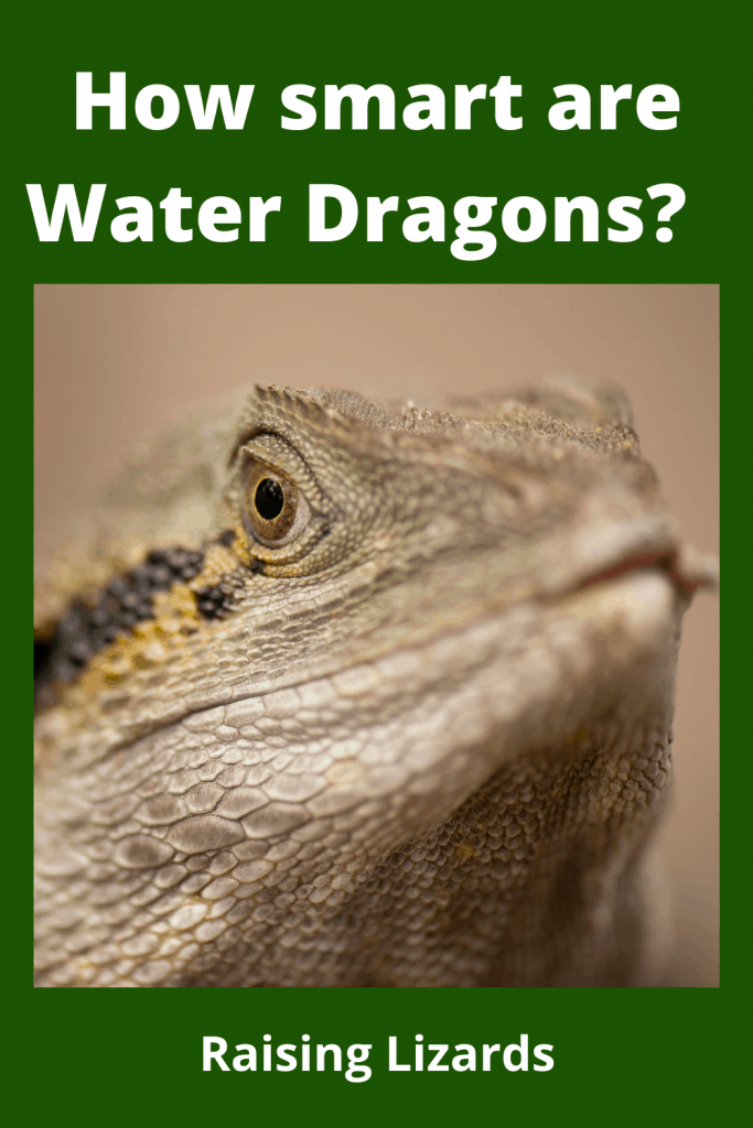 How smart are Water Dragons