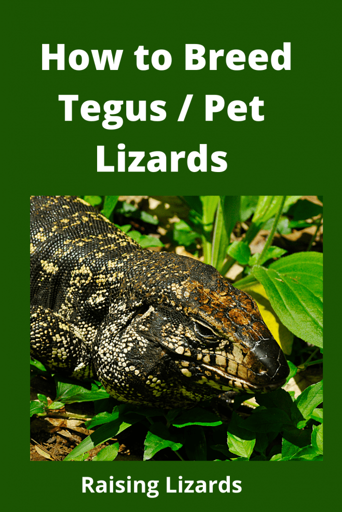 How to Breed Tegus