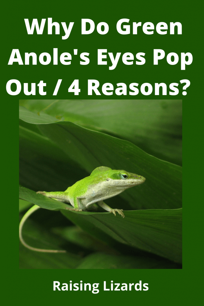 Anole's Eyes Pop Out