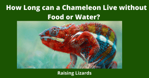 How Long can a Chameleon Live without Food or Water_