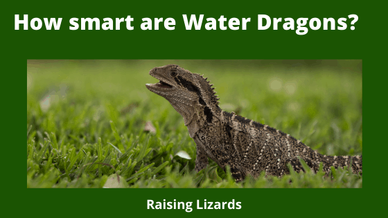 How smart are Water Dragons_