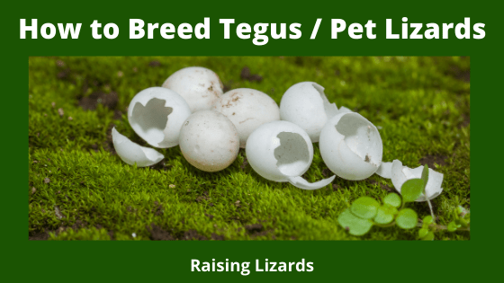 How to Breed Tegus _ Pet Lizards