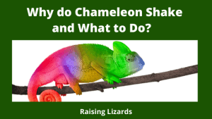 Why do Chameleon Shake and What to Do_ Ricketts