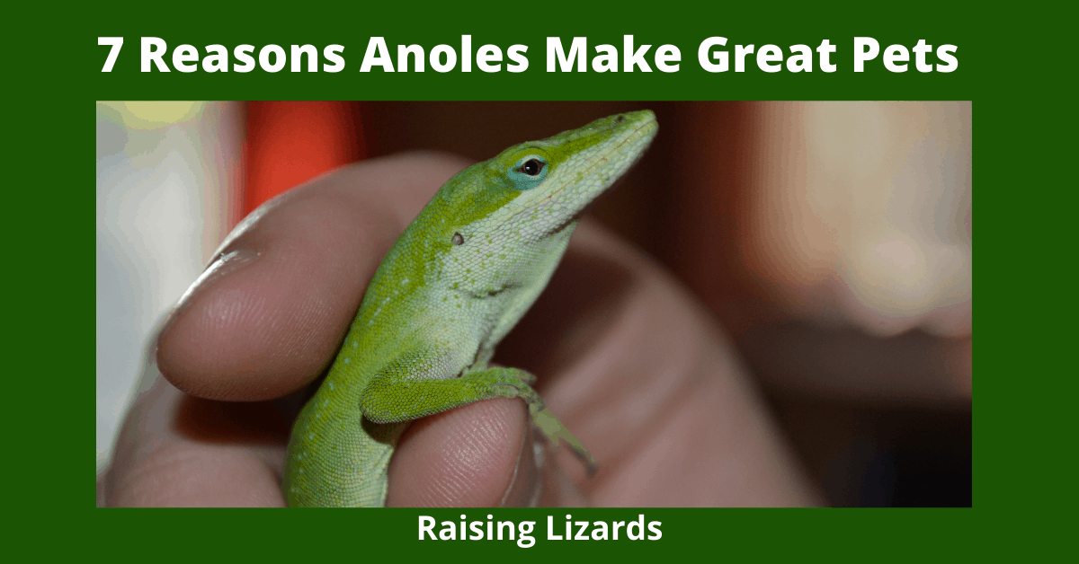 7 Reasons Anoles Make Great Pets