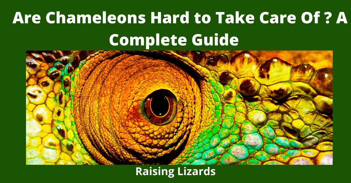 Are Chameleons Hard to Take Care Of? A Complete Guide