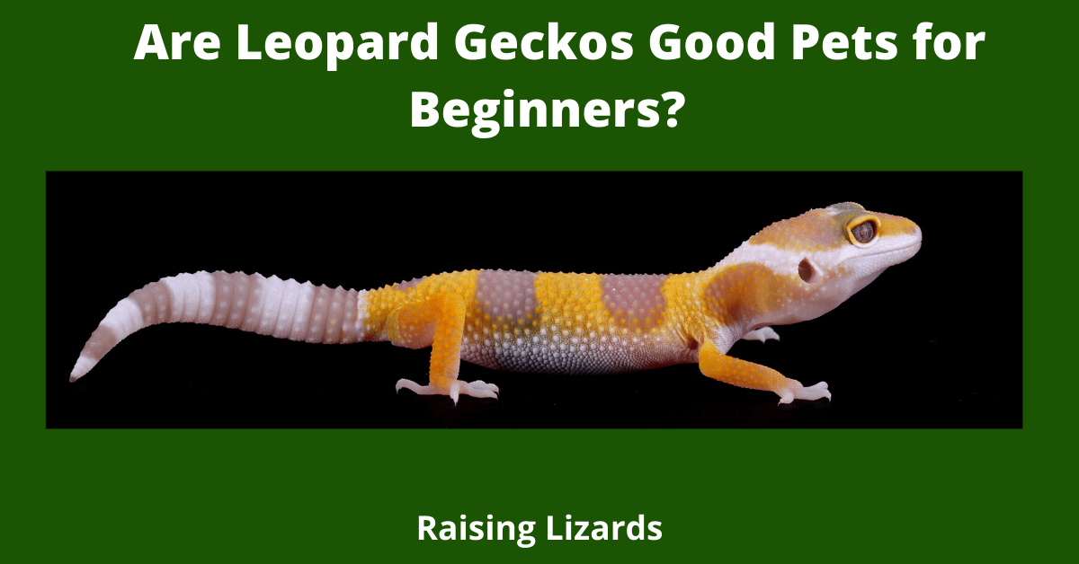 Are Leopard Geckos Good Pets for Beginners?