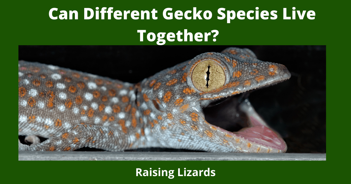 Can Different Gecko Species Live Together?