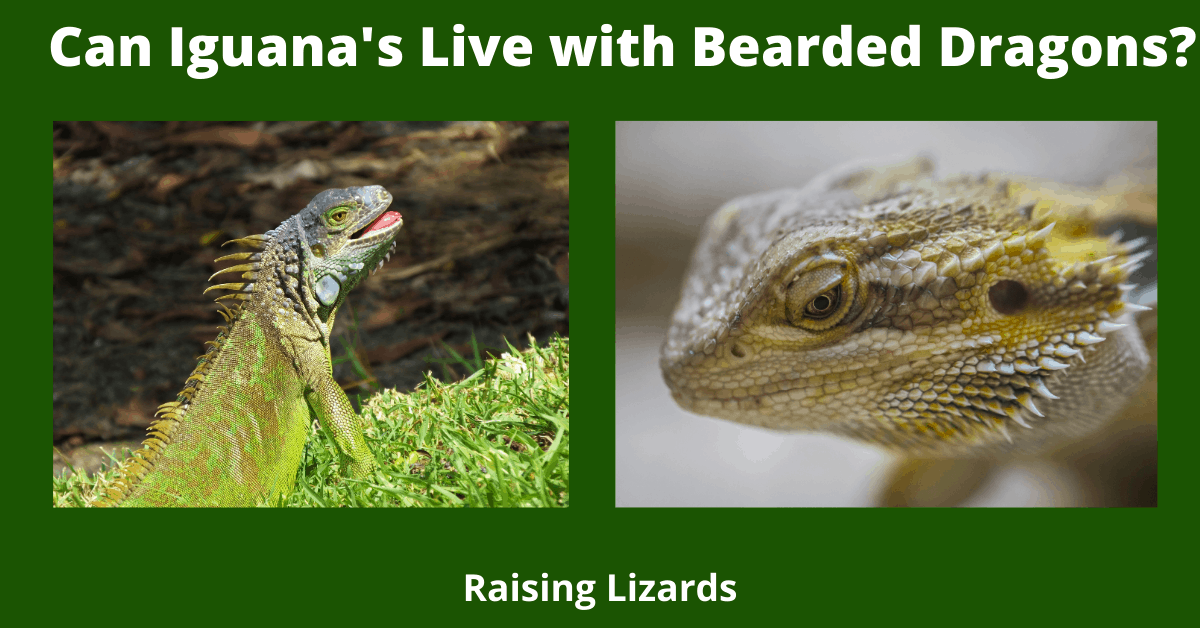 Can Iguana's Live with Bearded Dragons_
