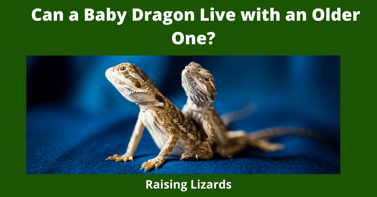 Can a Baby Dragon Live with an Older One?