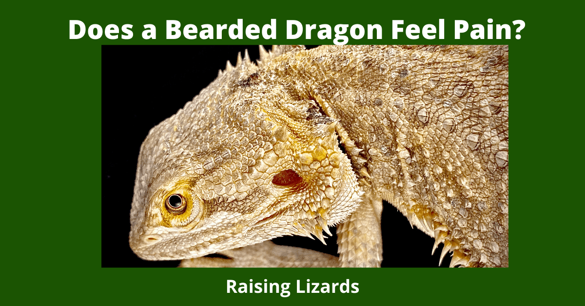 Does a Bearded Dragon Feel Pain?