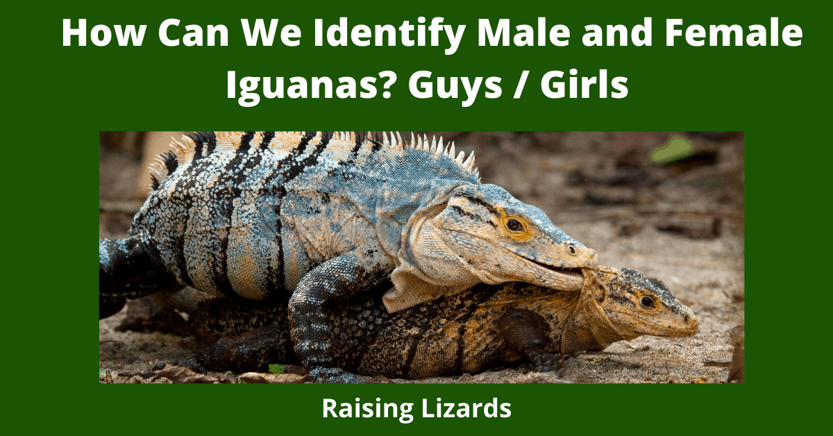 How Can We Identify Male and Female Iguanas? Guys / Girls