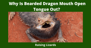 Why Is Bearded Dragon Mouth Open Tongue Out?