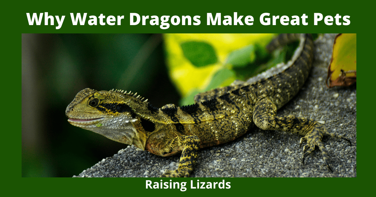 Why Water Dragons Make Great Pets